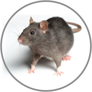 Large-Mouse